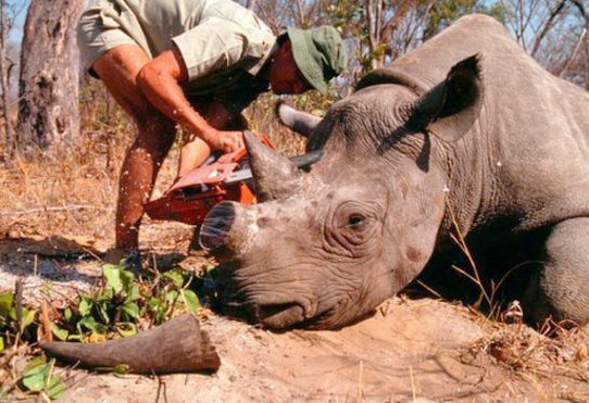 A Tranquilized Rhino has its horn removed to protect it from poachers.